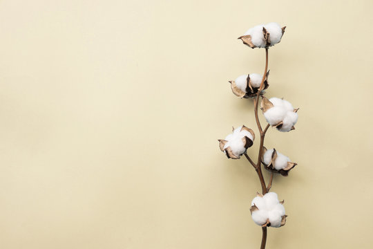 Cotton flower on pastel pale yellow paper background, overhead. Minimalism flat lay composition for bloggers, artists, social media, magazines. Copyspace, horizontal