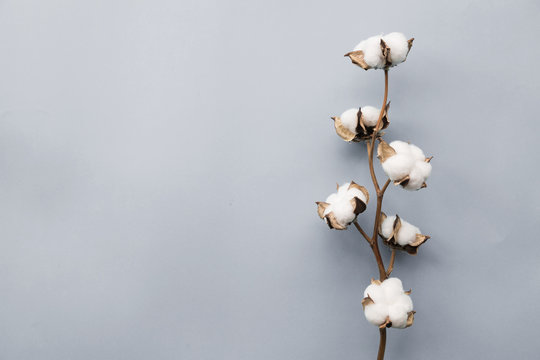 Cotton flower on pastel pale gray paper background, overhead. Minimalism flat lay composition for bloggers, artists, social media, magazines. Copyspace, horizontal