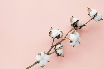Cotton flower on pastel pale pink paper background, overhead. Minimalism flat lay composition for bloggers, artists, social media, magazines. Copyspace, horizontal