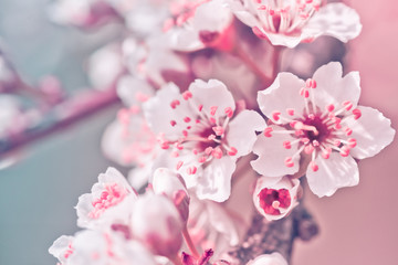 Flowers of Nanking cherry, Prunus tomentosa, Korean, Manchu, downy, Shanghai, Ando, mountain, Chinese bush, or Chinese dwarf cherry on the branches. Designer tinted in pink.