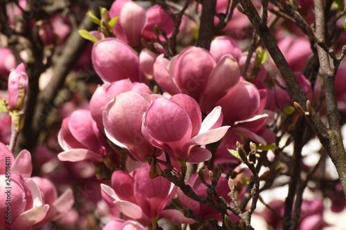 Spring Trees Blossom Magnolia Blossoms Magnolia Tree In Romania