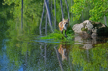 A young Red Fox plays around the water looking for food and drink.