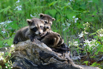 Baby raccoons playing together in a den tree log.
