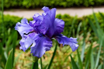 Beautiful blue lily Iris flower