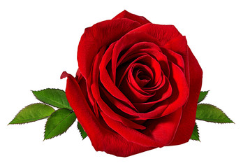 In de dag Roses Fresh beautiful rose isolated on white background with clipping path