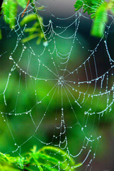 DEW DROPS FORMED ON A SPIDER'S WEB ON A COLD AND FOGGY MORNING IN NEW DELHI.