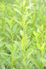 Prunus caucasica