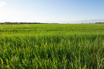 agricultural field with green