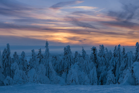 Immerse winter scene, pine tree forest covered by snow with colorful cloudscape