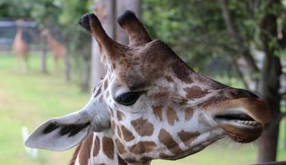 close up of head of giraffe