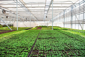 Modern hydroponic greenhouse with climate control, cultivation of seedings, flowers. Industrial horticulture