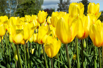 Tulip (yellow) field