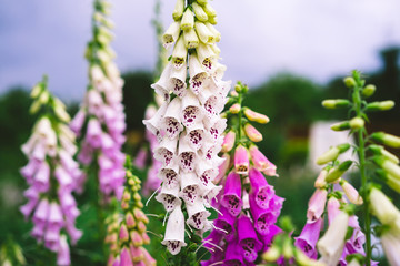 Obraz digitalis pink, garden flowers - fototapety do salonu