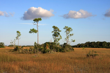 Pine Trees in the Sawgrass Prairie of Everglades National Park, Florida.