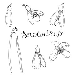 Vector isolated hand-drawn flowers snowdrop black and white elements for floral season design