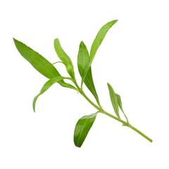 Fresh tarragon herbs, Tarragon herbs close up isolated on white background