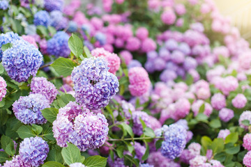 Fotomurales - Hydrangea is pink, blue, lilac, violet, purple bushes. Flowers are blooming in spring and summer in countryside garden.