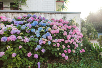 Fotomurales - Hydrangea garden by house at sunset. Bushes is pink, blue, lilac, purple. Flowers hedge is blooming in countryside streets in spring and summer outdoor.