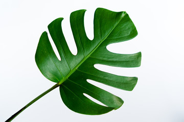 Monstera green leaf isolated on white background. Palm leaf, Real tropical jungle foliage Swiss cheese plant. Flat lay and top view. Nature object.