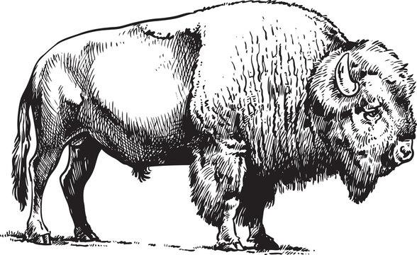 Buffalo - American Bison