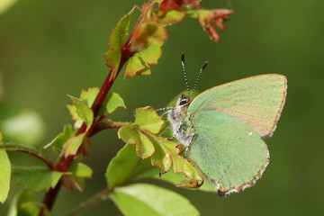 A stunning Green Hairstreak Butterfly (Callophrys rubi) perched on a leaf.