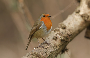 A beautiful Robin (Erithacus rubecula) perching on a branch in woodland.