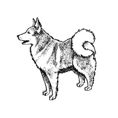 Husky, Eskimo dog or wolf full-length. Ink hand drawn, handmade illustration. Isolated on a white background. Can be used as print, tattoo idea, card, etc.