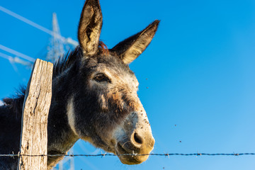 Portrait a donkey on a clear blue sky