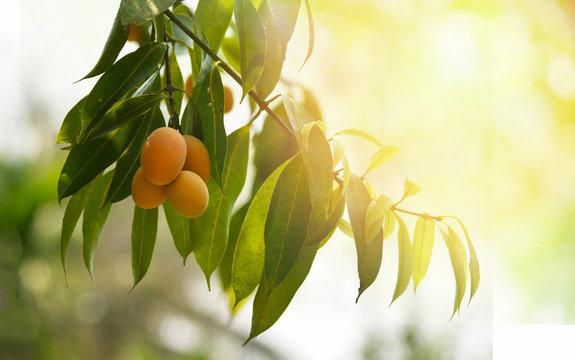 plum mango tropical fruit on tree / ripe of sweet marian plum mango fruit maprang in thai