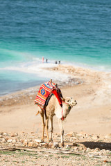 Foto op Aluminium Kameel Stunning view of a camel grazing on a hill with Dead Sea in the background, Israel.