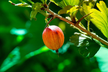 Macro shot of a fresh and ripe gooseberry in a fruit garden on a sunny day on a green background