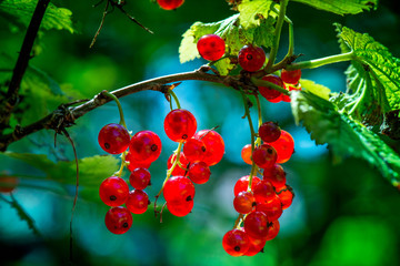 Macro shot of group of fresh and ripe redcurrants in a fruit garden on a sunny day on a clear blue sky background