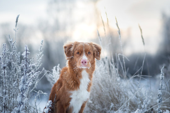 portrait of a dog in the snow. close-up. Winter mood. Nova Scotia Duck Tolling Retriever, Toller