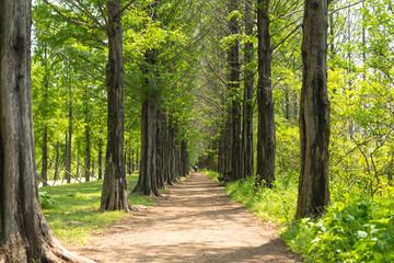 메타세콰이어 나무 식물 공원 산책 백그라운드 사진 이미지