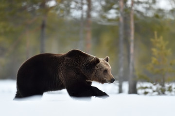 bear walking on the snow