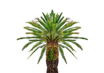 Beautiful palm tree isolated on white background.