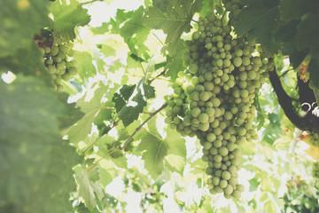 Green grape cluster Fototapete