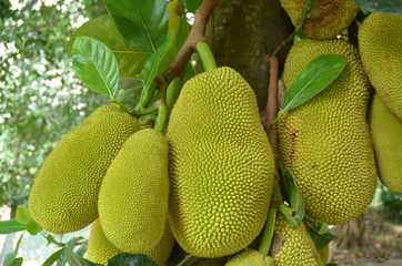 close-up of jackfruits on tree
