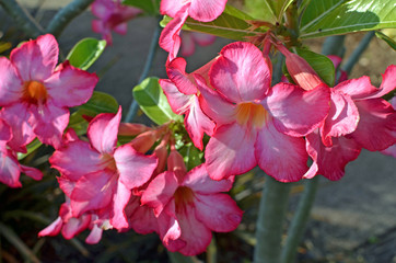 Close up of bright pink trumpet Desert Rose or Impala Lily (Adenium multiflorum) flower with dark edge ruffled petals, yellow throats, and glossy leaves in bright sunlight with moss green background.