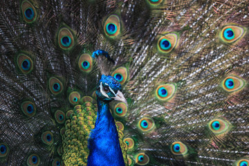Portrait a beautiful male Peacock with expanded feathers