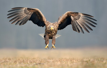 Photo sur Plexiglas Aigle White tailed eagle (Haliaeetus albicilla)