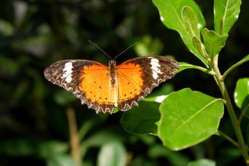Beautiful Orange Monarch Butterfly Perching on the Green Leaf