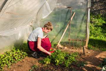 Young woman harvesting basil from garden, Tuscany, Italy.