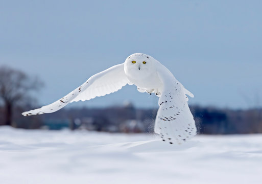 Snowy owl flying low hunting over an open sunny snowy cornfield in Ottawa, Canada