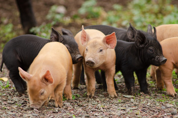 Adorable piglets explore the barnyard for the first time