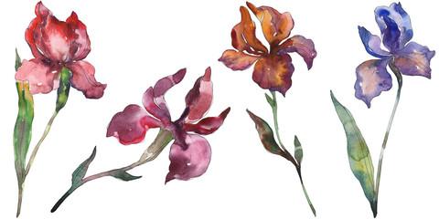 Red and purple irises botanical flower. Watercolor background illustration set. Isolated iris illustration element.