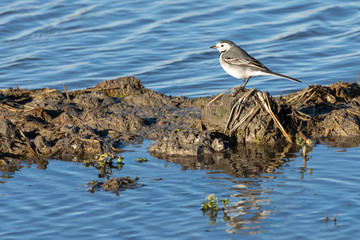 white wagtail (Motacilla alba) at sunset in a flooded rice field in the natural park of Albufera, Valencia, Spain. perfect nature background and water reflection