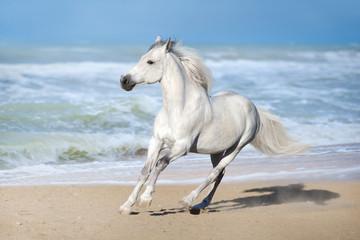 White horse run gallop along the beach