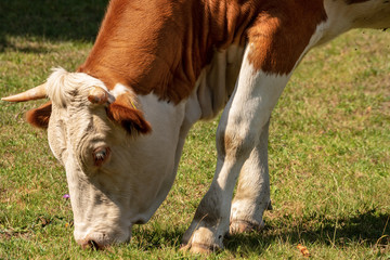 Brown and white cow Grazing on Green Meadow