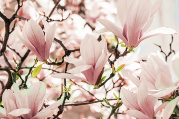 Blooming magnolia tree in the spring